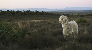 Angora Goats_01