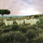 Angora Goats_02